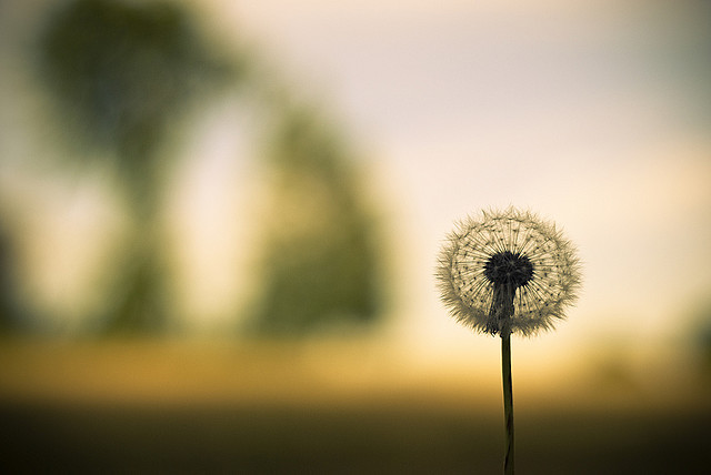 Photo of a dandelion clock wil a shallow depth of field