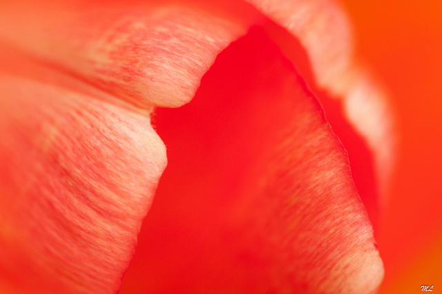 Abstract macro photo of tulip flower petals