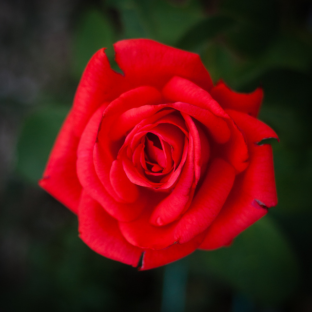 Red rose, photographed with a clean background and no distractions