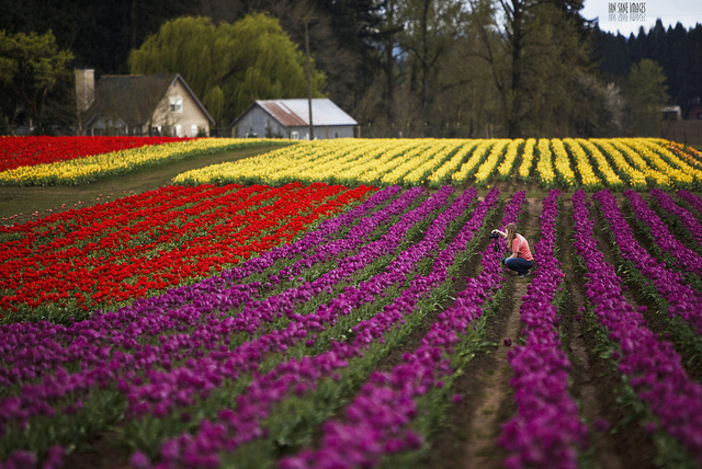 Rows of tulips growing in a field, showing telephoto compression effect