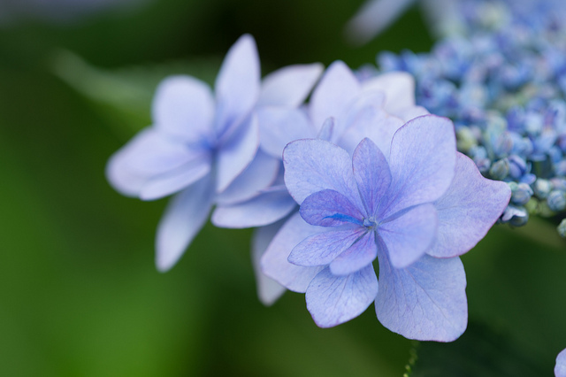 Telephoto photo of a Hydrangea flower
