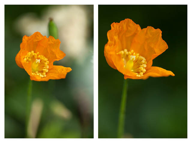 Image of an orange poppy flower. On the left the photo has a distracting background. On the right the flowers in the background have been gently bent out of the way to give a much cleaner background and more pleasing image.