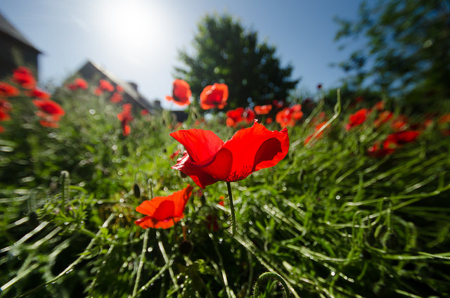 Wide-angle photo of a poppy flower