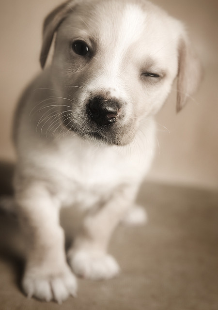 Puppy winking, shallow depth of field used