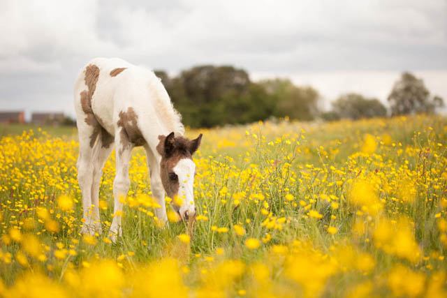 Photo of a foal in a field of buttercups taken on an overcast cloudy day