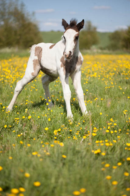 Photo of a foal in a field of buttercups taken on a sunny day