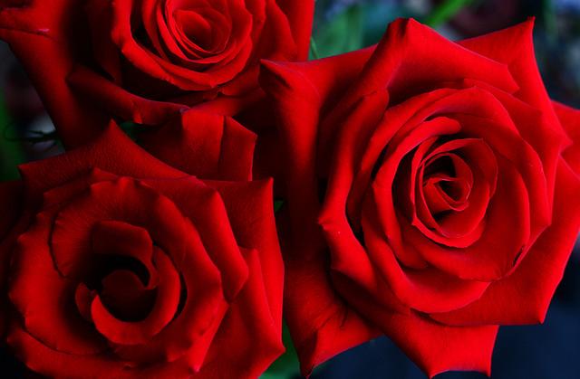 roses taken in soft light on an overcast day