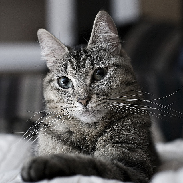 Portrait photo of a cat lit by bouncing flash into a wall