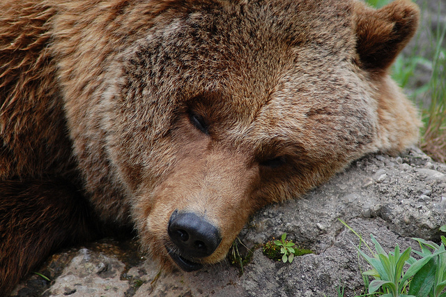Close-up photo of a sleeping bear taken using a DSLR with a telephoto lens - you wouldn't be able to get such an image with a smartphone unless you entered the bear's enclosure.