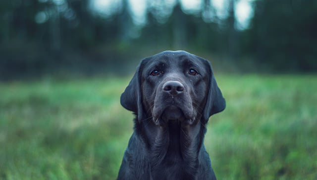 Photo of a dog taken with a shallow depth of field resulting in an out of focus background