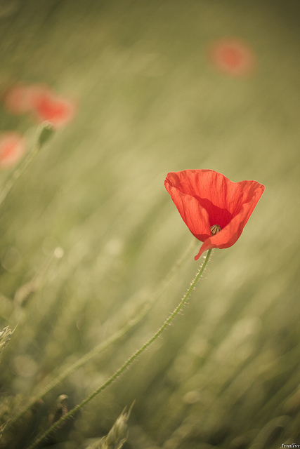 Photo of a red poppy flower in a green field, a shallow depth of field was used so only the poppy flower is in sharp focus and the rest of the image is out of focus and soft.