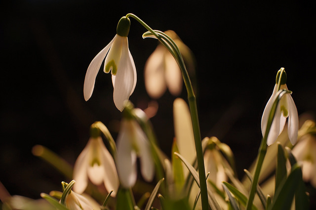 Snowdrops in artificial Evening-Sun, photographed using camera on a tripod and handheld flash