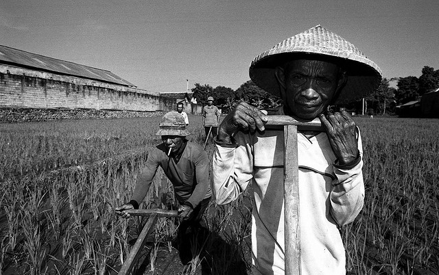 Wide angle portrait of Rice Farmers in Sukadamai, Java.