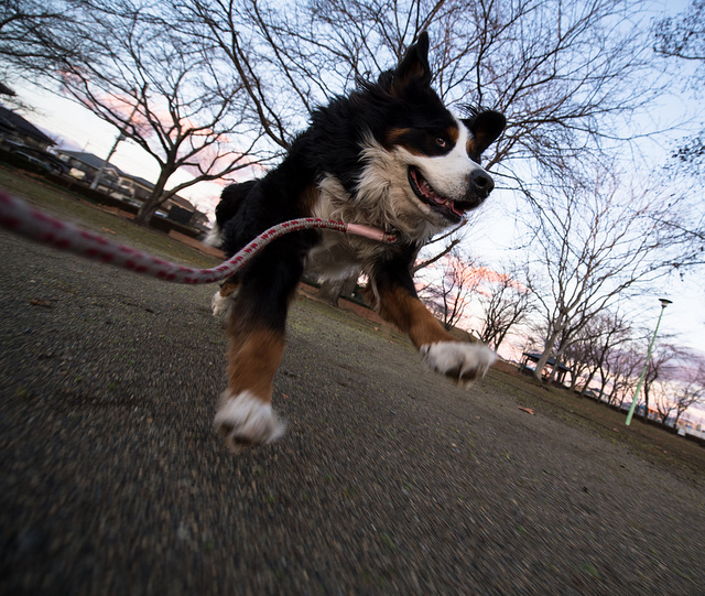 Running dog captured with a wide angle lens