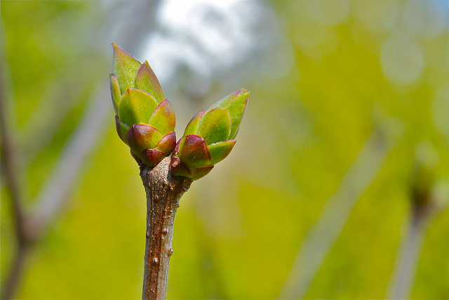 Spring buds, composed with the subject off-center by using the focus-recompose technique