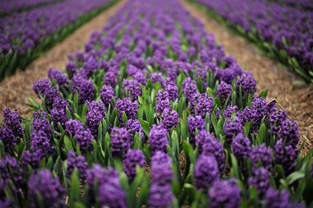 Purple Hyacinths - shallow depth of field landscape photo