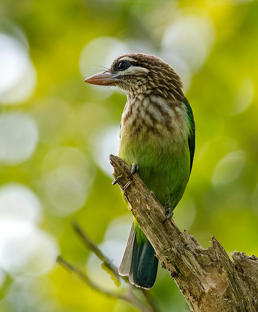 white cheeked barbet with out of focus leaves as the background