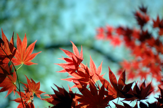 Shallow DoF photo of maple leaves, photographed using a crop sensor camera