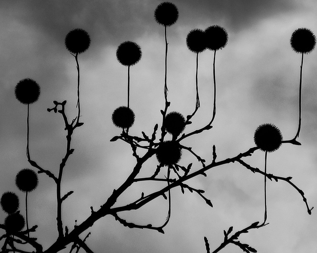 Silhouette of gravity defying fruits on a tree