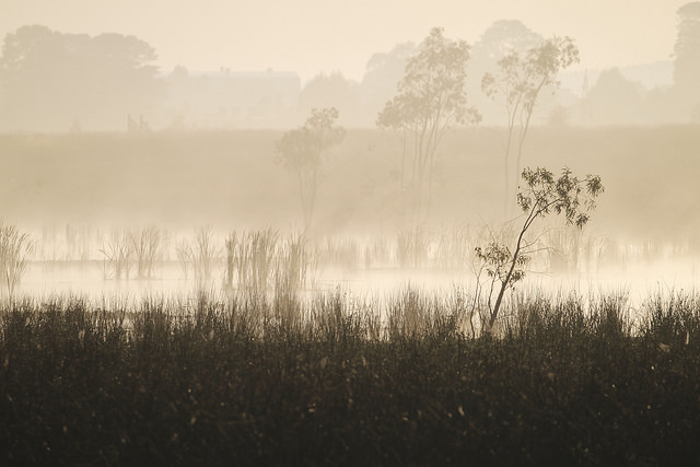 Swamp in the mist on a winter's morning. The grasses and trees further away are lower contrast than those nearer to the camera due to the mist.